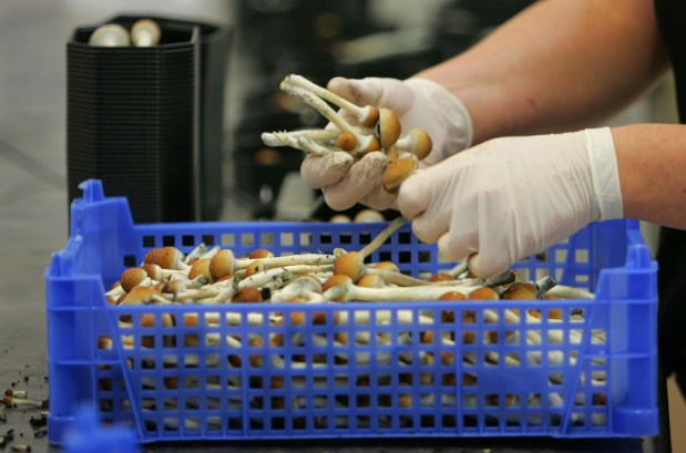 Magic mushrooms are being weighed and ...