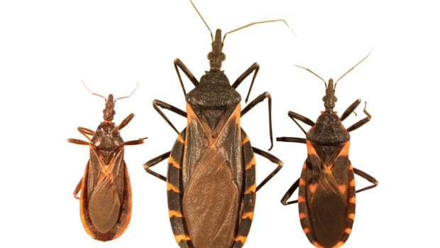 "Blood-sucking ""kissing bug"" sighted in Colorado, CDC warns"