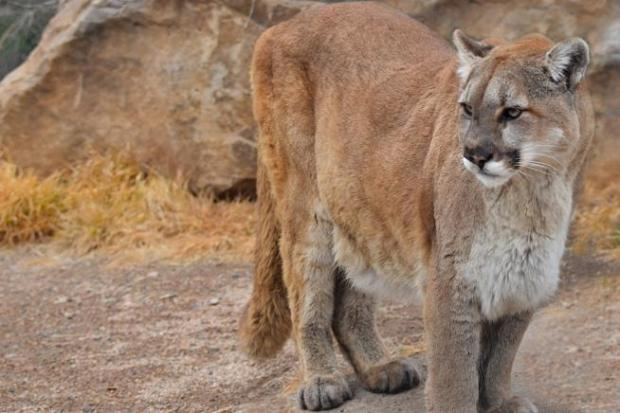 A mountain lion was spotted near ...