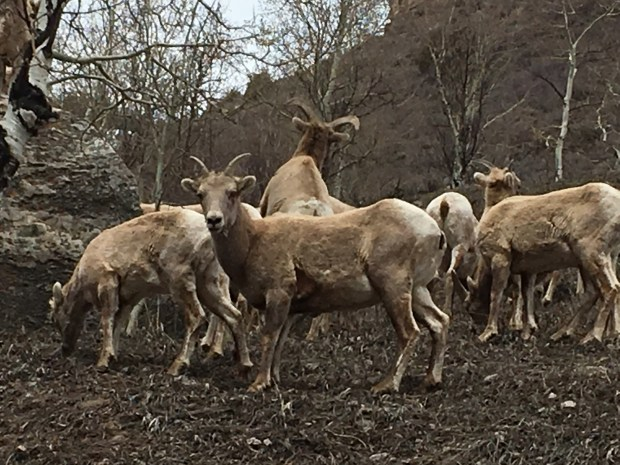 Vail housing proposal spotlights growing threat to Rocky Mountain bighorn sheep habitat