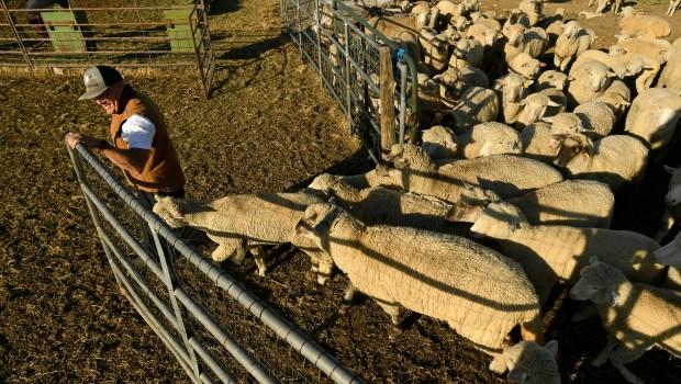 Farmer Clint Buckner lets his sheep ...
