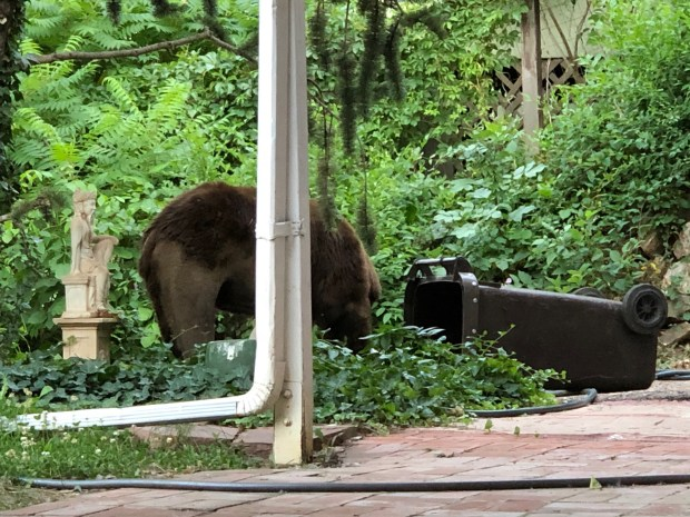 Bear in garbage can