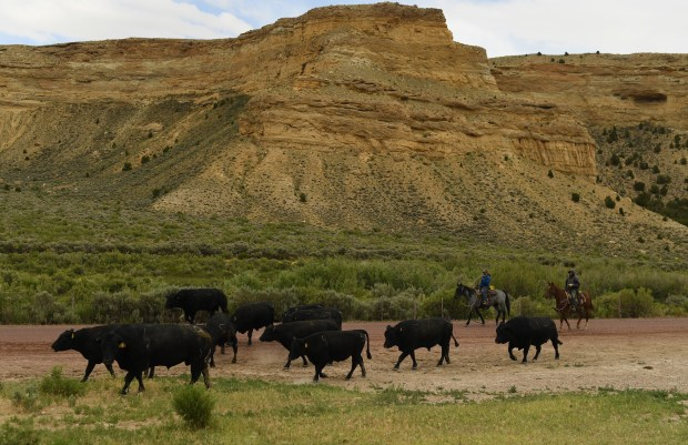 Cowboys, who work Dickinson's family ranch, ...