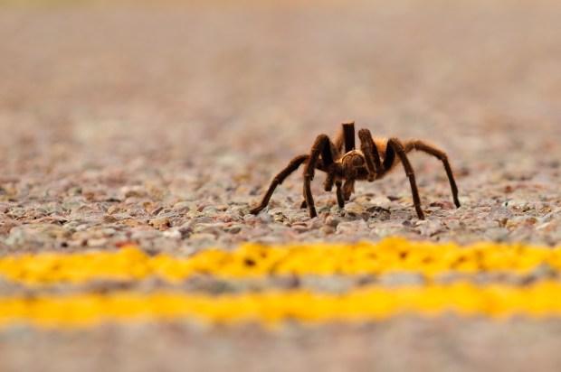 This is a Texas brown tarantula, ...
