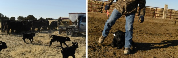 Kevin Karney feeds cattle as his ...