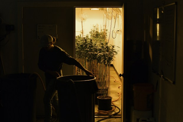Brittany Pearsall works hand watering cannabis ...