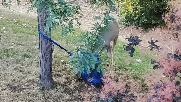 A mule deer buck became entangled ...