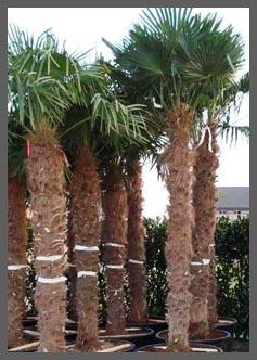 Verzorging olijfbomen  citrusbomen  palmbomen  De