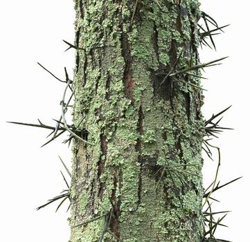 Black Locust Vs Honey Locust Thorns