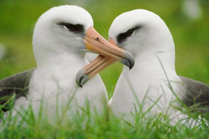 albatrosses-romantic-animals