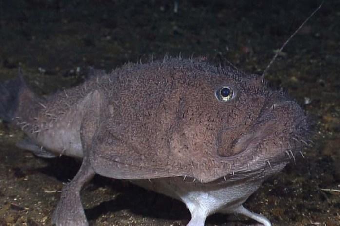 anglerfish-romantic-animals