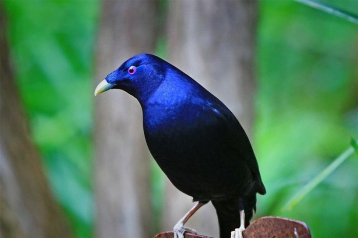 bowerbirds-romantic-animals