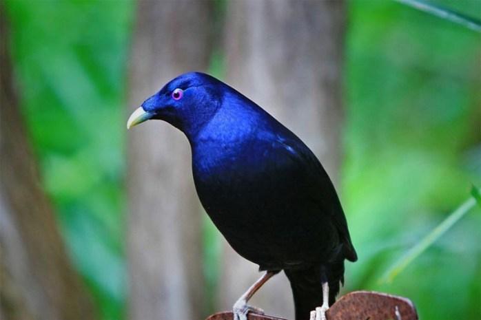 bowerbirds-romantic-animals