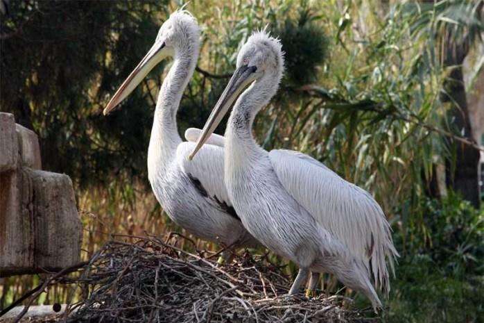 dalmatian-pelican-largest-birds