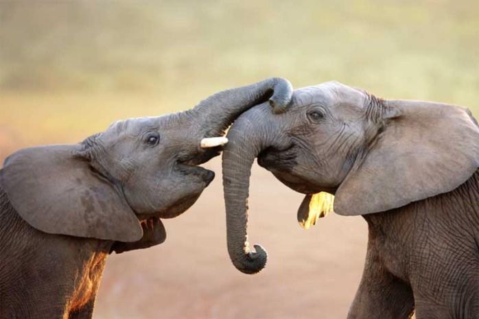 elephants-longest-gestation-period