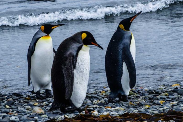 emperor-penguin-largest-birds