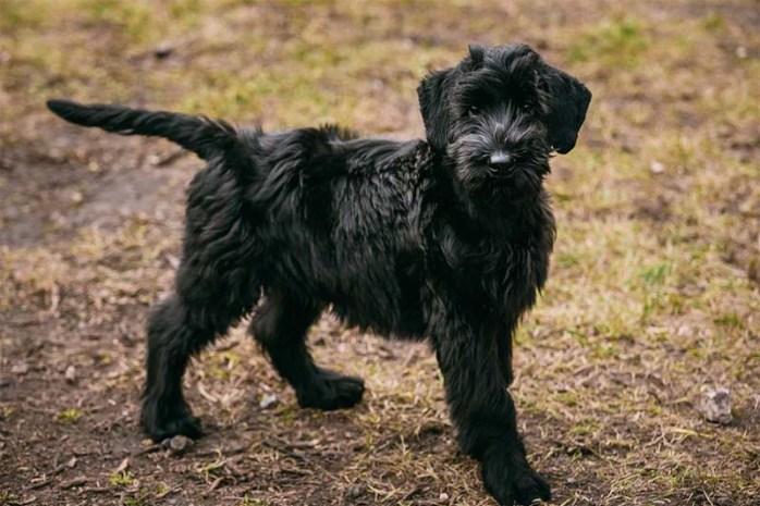 giant-schnauzer-dog