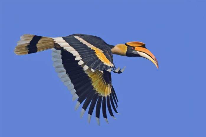 great-hornbills-romantic-animals