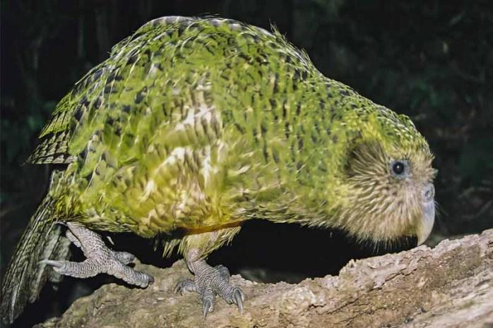 kakapo-flightless-bird