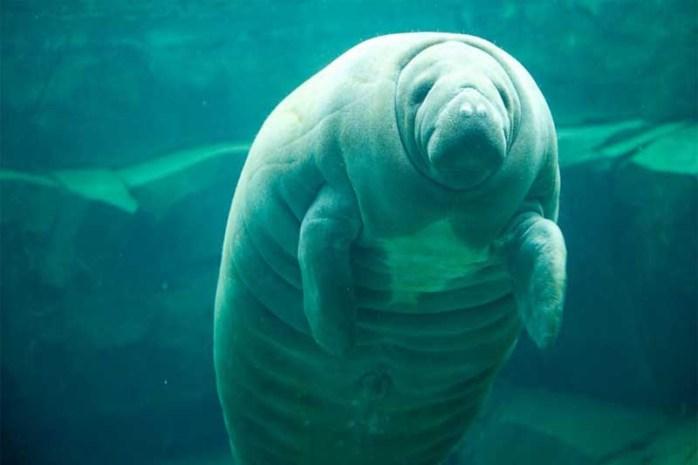 manatee-longest-gestation-period