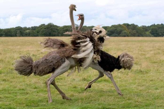 ostrich-flightless-bird