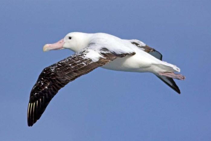 wandering-albatross-largest-birds