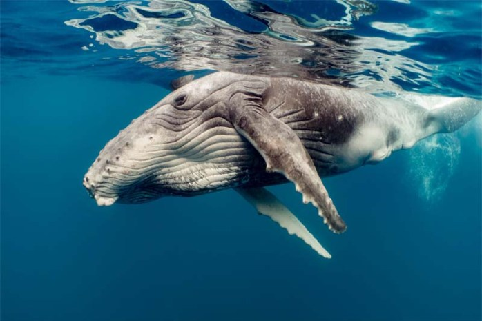 whales-longest-gestation-period