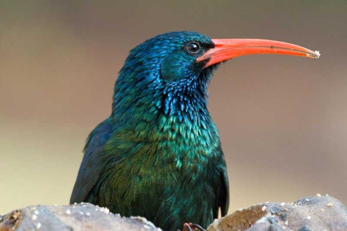 wood-hoopoe
