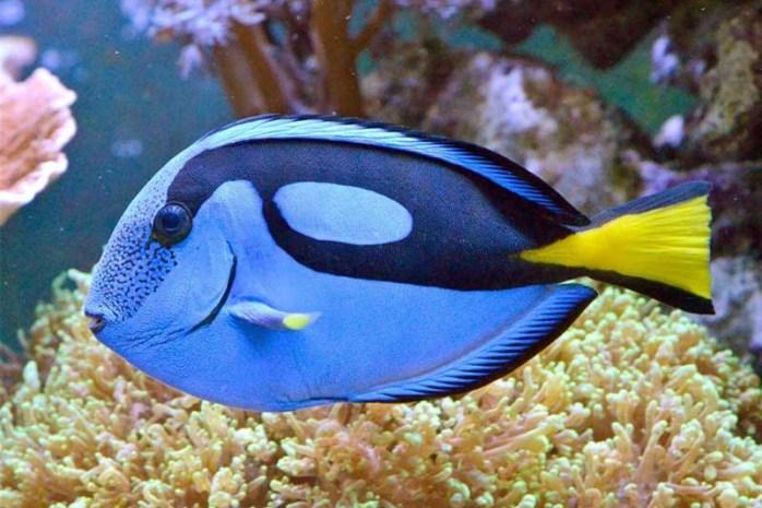 blue-tang