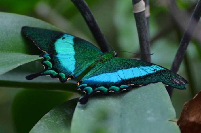 emerald-swallowtail