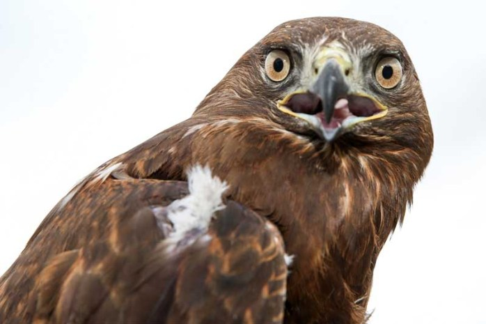hawk-endemic-animals