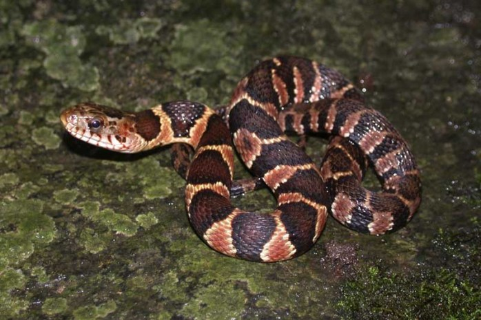 northern-water-snake