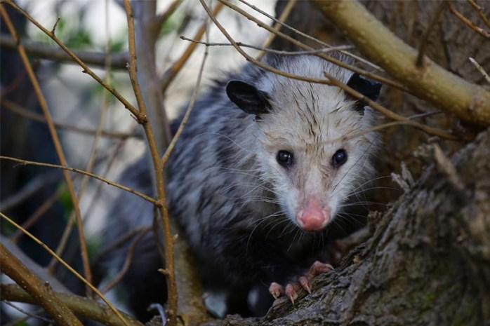 sleeping-opossum