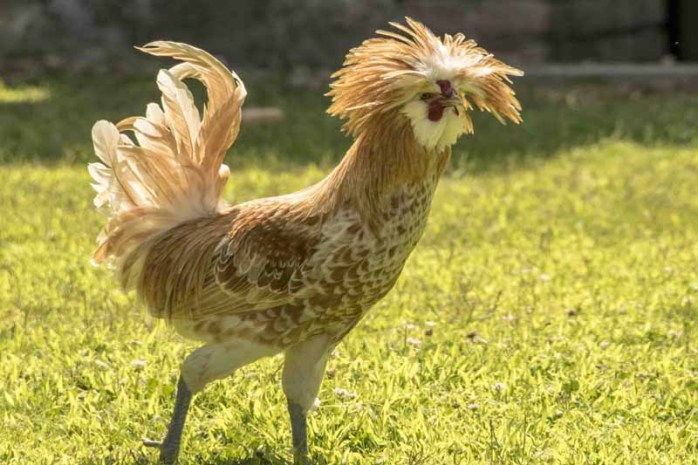 polish-chicken