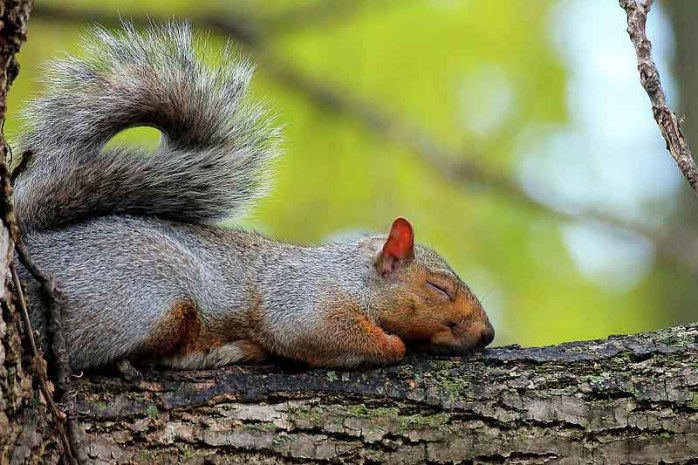 sleeping-squirrel