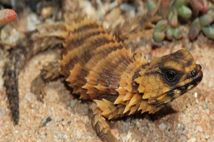 armadillo-spiny-tailed-lizard