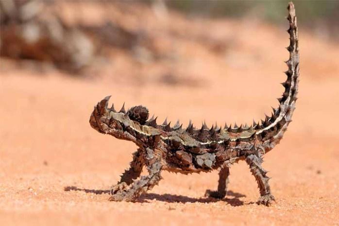 thorny-devil