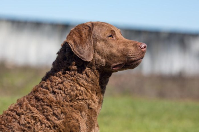 Chesapeake-bay-retriever