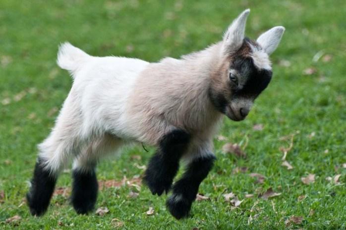 pygmy-goat
