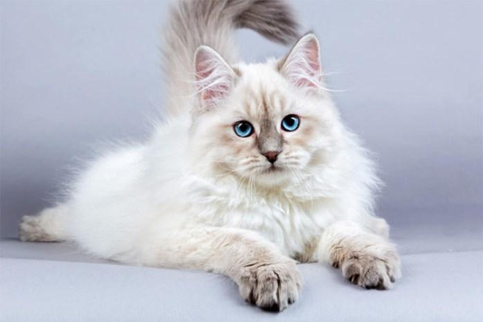 siberian-cat-breed