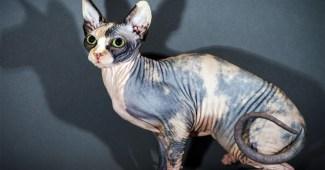 sphynx-cat-breed