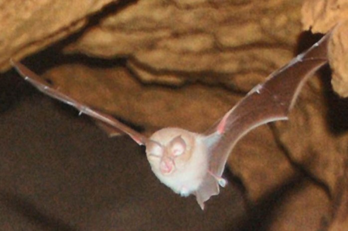 mediterranean-horseshoe-bat