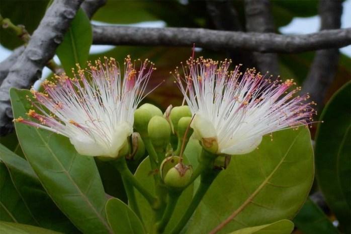 sea-poison-tree