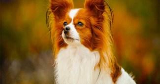 papillon-smartest-dog-breeds