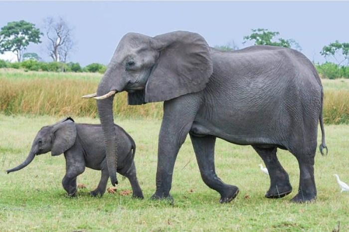 african-elephant-toughest-animal