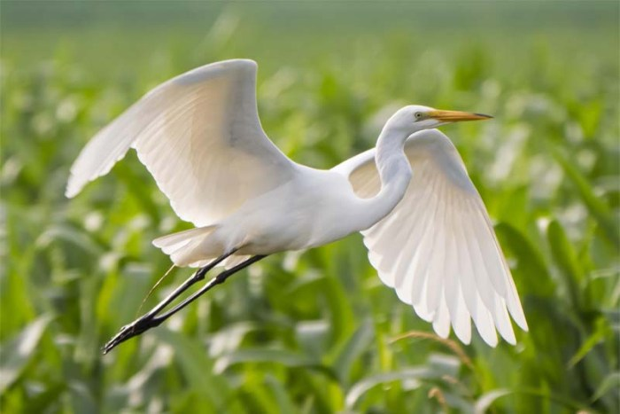 great-egret-white-bird