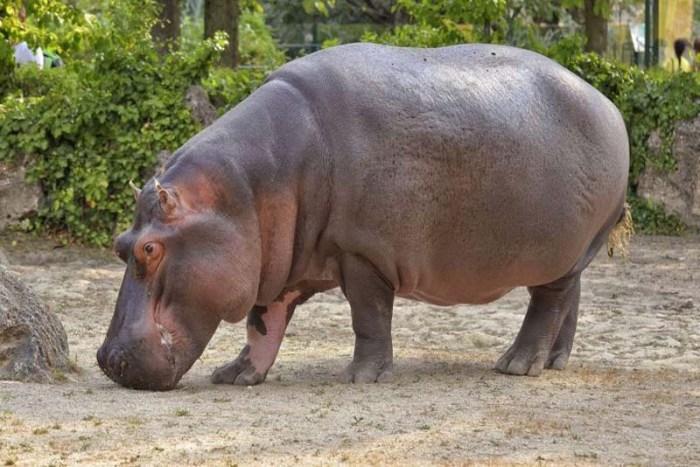 hippopotamus-toughest-animal