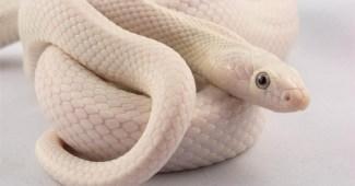 leucistic-rat-snake-beautiful-snake