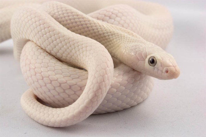 leucistic-rat-snake-beautiful-snake