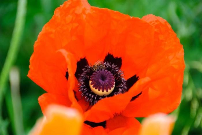 oriental-poppy-beautiful flower